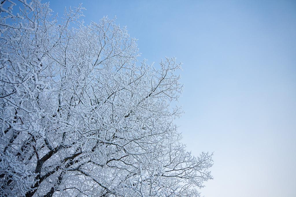 Frostiga trädgrenar